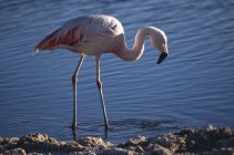 Chilean Flamingo standing in water and looking for food — Stock Photo