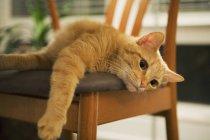 Ingwer Katze liegend auf Stuhl und ausstreckten Pfote — Stockfoto