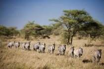 Row of migrating zebra at sunlit safari field — Stock Photo