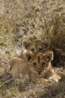 Two lion cubs lying on ground and looking at camera — Stock Photo