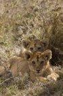 Filhotes de dois leão deitado no chão e olhando para a câmera — Fotografia de Stock