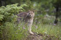 Canadian Lynx looking out of bush in forest — Stock Photo