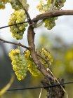 Grapes bunches growing at vineyard — Stock Photo