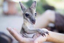 Обрезание женской руки с целью кенгуру детеныша — стоковое фото