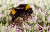 Bumblebee perched on flower — Stock Photo