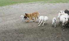 Chien de berger de race mixte élevant des moutons à la nature — Photo de stock