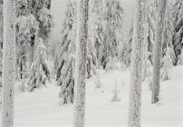 Plan plein cadre de troncs d'arbres recouverts de neige — Photo de stock