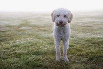 Cão de água espanhol campo de pé e olhando para a câmera — Fotografia de Stock