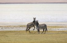 Two Zebras on river shore in safari — Stock Photo