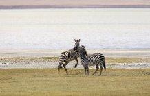 Due zebre sulla riva del fiume in safari — Foto stock