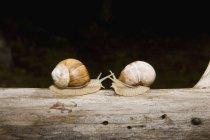 Due lumache della terra faccia a faccia sul registro — Foto stock