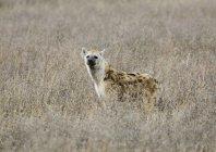 Пятнистая гиена стоит на сухом поле и смотрит в камеру — стоковое фото