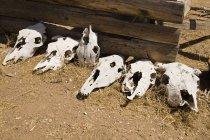 Строка pf скота черепа лежа на засушливые земли — стоковое фото