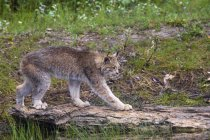 Side view of Canadian Lynx walking across log — Stock Photo