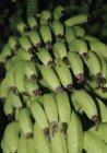 Крупним планом подання недостиглі банани, ростуть на дереві — стокове фото