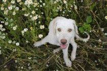 Портрет собаки, сидячи на полі ромашки і дивлячись на камеру — стокове фото