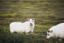 Icelandic sheep on grassy country field — Stock Photo