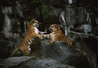 Side view of two tigers fighting on rocks — Stock Photo