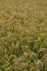 Disparo de fotograma completo de cultivo en campo de arroz - foto de stock