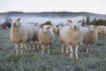 Овець у фермі поле на крижаній Туманний ранковий — стокове фото