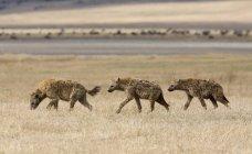 Vista laterale di tre iene attraversando la pianura — Foto stock