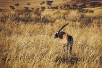 Rückansicht des Gemsbok auf Safari gehen und Wegsehen — Stockfoto