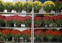 Potted chrysanthemums on shelves for sale — Stock Photo