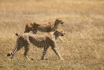 Side view of two cheetahs prowling sunlight safari — Stock Photo