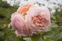 Close-up vista de rosas ao ar livre — Fotografia de Stock