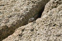 Lucertola appollaiata nella crepa tra rocce arenarie — Foto stock