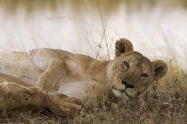 Портрет львица отдыхает в природе и, глядя на камеру — стоковое фото