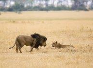 Seitenansicht von Löwe und Löwin auf Safari — Stockfoto