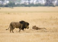Вид збоку лева і левиця в safari — стокове фото