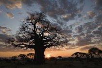 Silhouette der Baobab-Baum im Sonnenuntergang Savannenlandschaft — Stockfoto