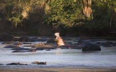Heap of hippopotamus bathing in lake — Stock Photo