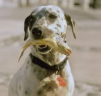 Dalmatian dog holding  fish in its mouth — Stock Photo