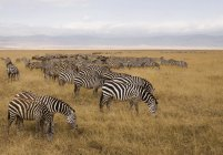 Сторона viwe стадо зебр, выпас скота на сафари — стоковое фото