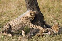 Два Детеныши гепарда играть дерева в природе — стоковое фото