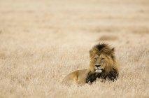 Lion lying in safari field — Stock Photo