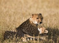 Portrait of cheetah with its cub at sunlit safari — Stock Photo