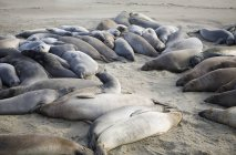 Flock of seals lying on sand beach — Stock Photo