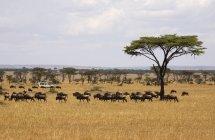 Safari vehicle driving behind herd of wildebeest — Stock Photo