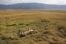 Playful lioness lying on back at sunlit safari — Stock Photo