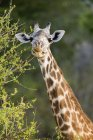 Portrait of giraffe eating leaves from tree — Stock Photo