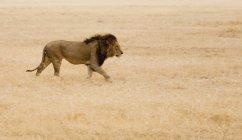 Vista lateral de León caminando en safari - foto de stock