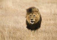 Movendo-se no iluminado safari leão — Fotografia de Stock