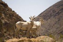 Desert bighorn sheep standing on flat rock over arid hills — Stock Photo