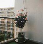 Rosenstrauch auf Sockel auf der Terrasse — Stockfoto
