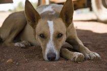 Бежевая собака лежит на земле и смотрит в камеру — стоковое фото