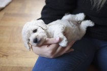 Midsection of woman holding puppy in hands — Stock Photo